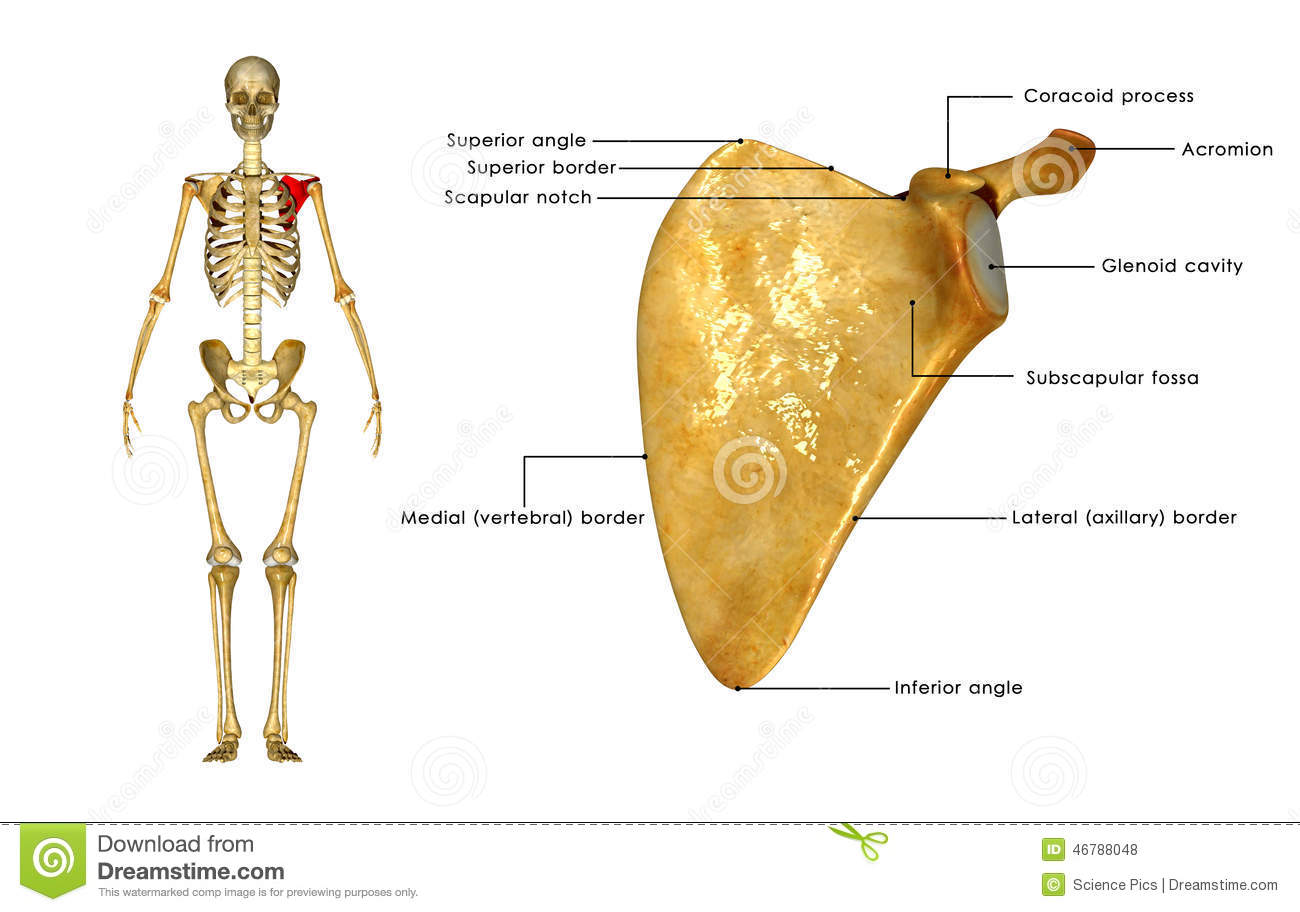 Scapula Stock Illustration Illustration Of Drawing Dorsi 46788048