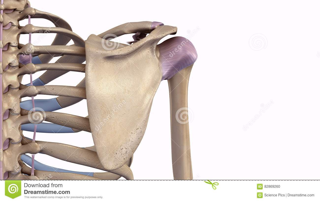 Scapula With Ligaments Stock Illustration Illustration Of Forearm