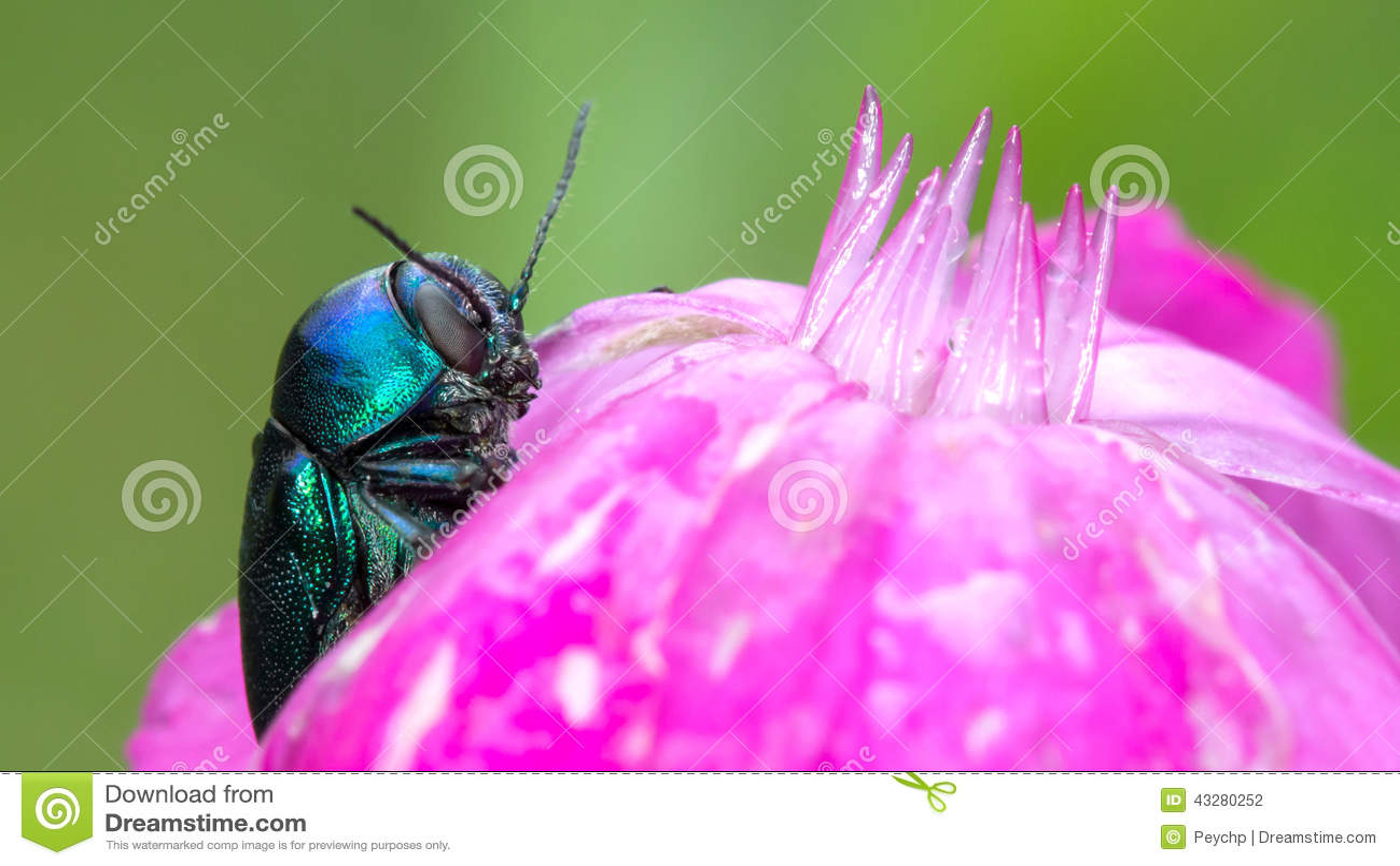 scarabée bleu sur la fleur rose photo stock - image: 43280252