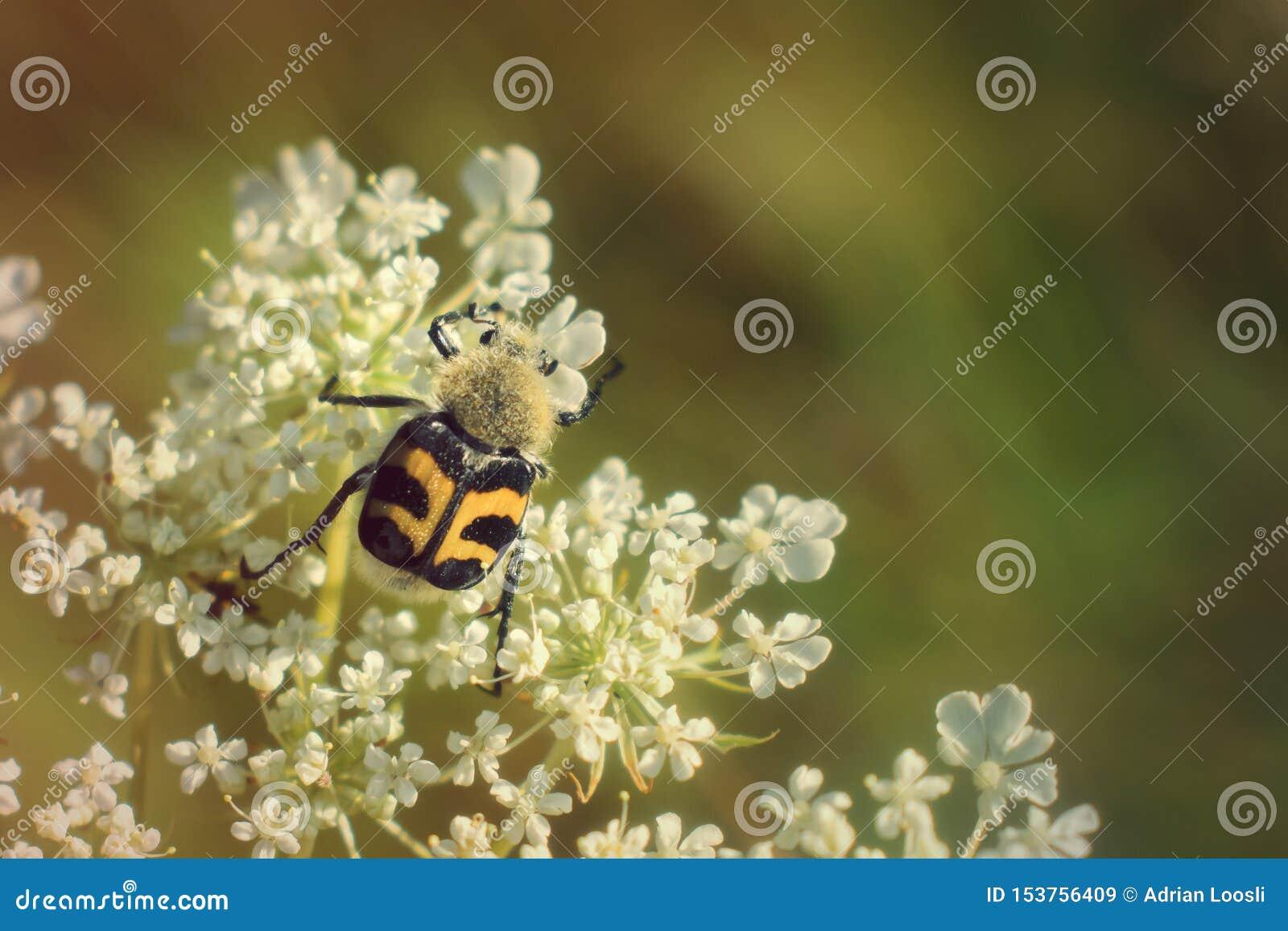 Scarabée d abeille s élevant sur la fleur blanche