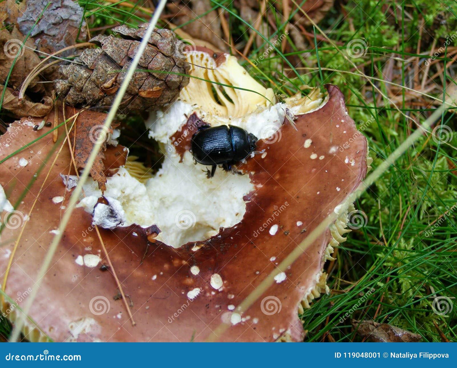 Scarabée de Dung sur le champignon