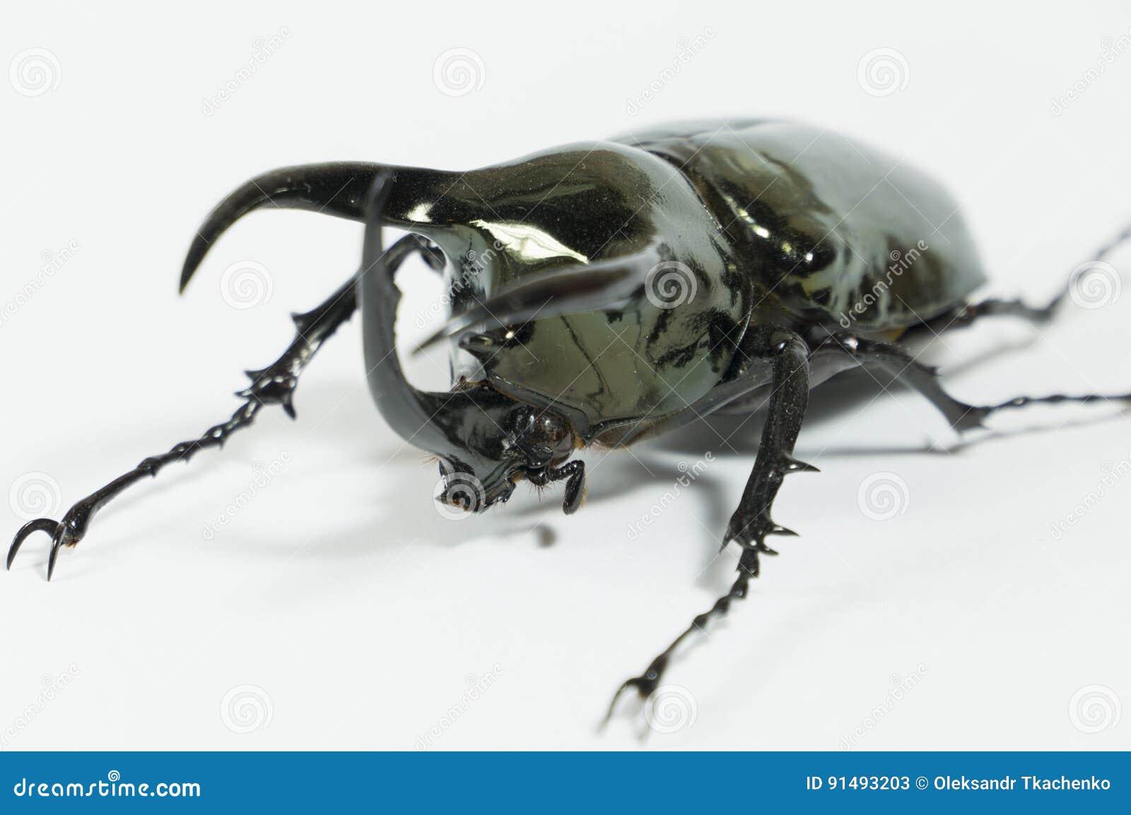 Scarabée de rhinocéros Chalcosoma Caucase, scarabée de rhinocéros, scarabée de licorne, scarabée de klaxon d isolement
