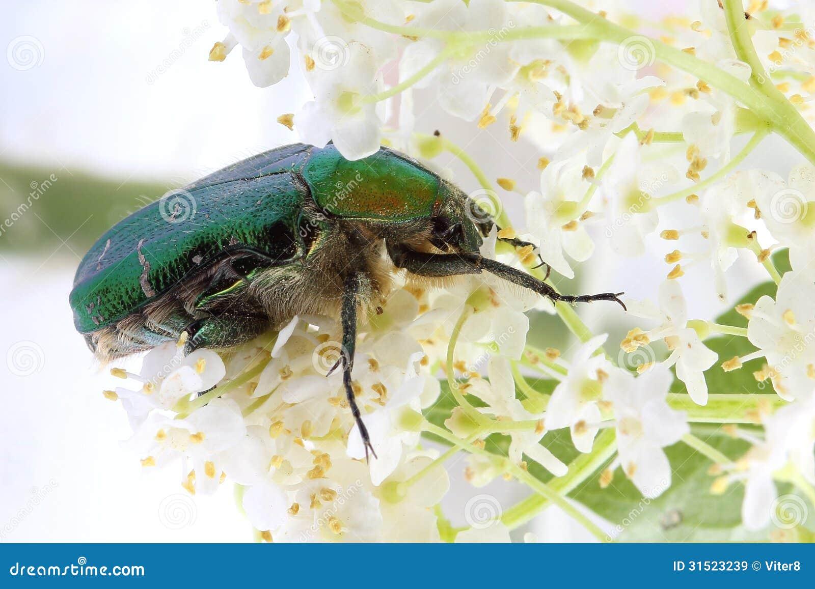scarabée de rose (aurata de ?etonia) sur des fleurs de baie de