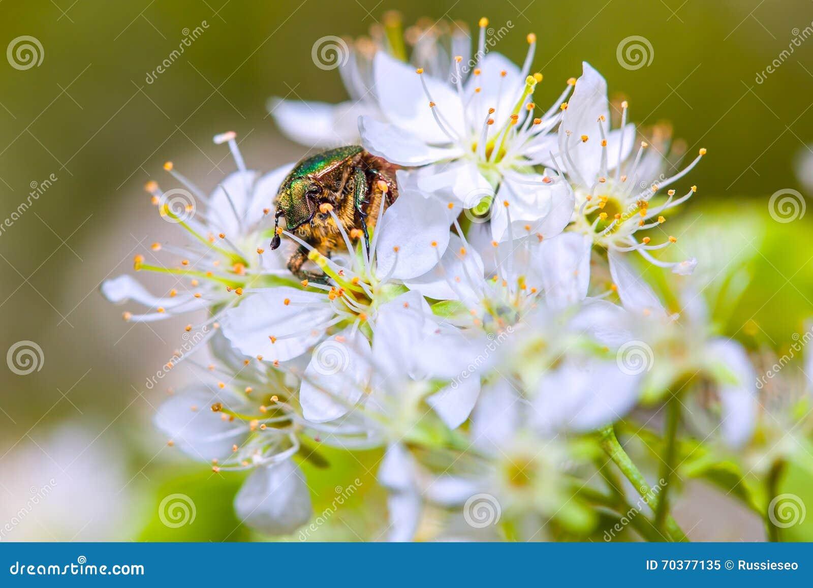 scarabée de rose chafer sur les fleurs photo stock - image: 70377135