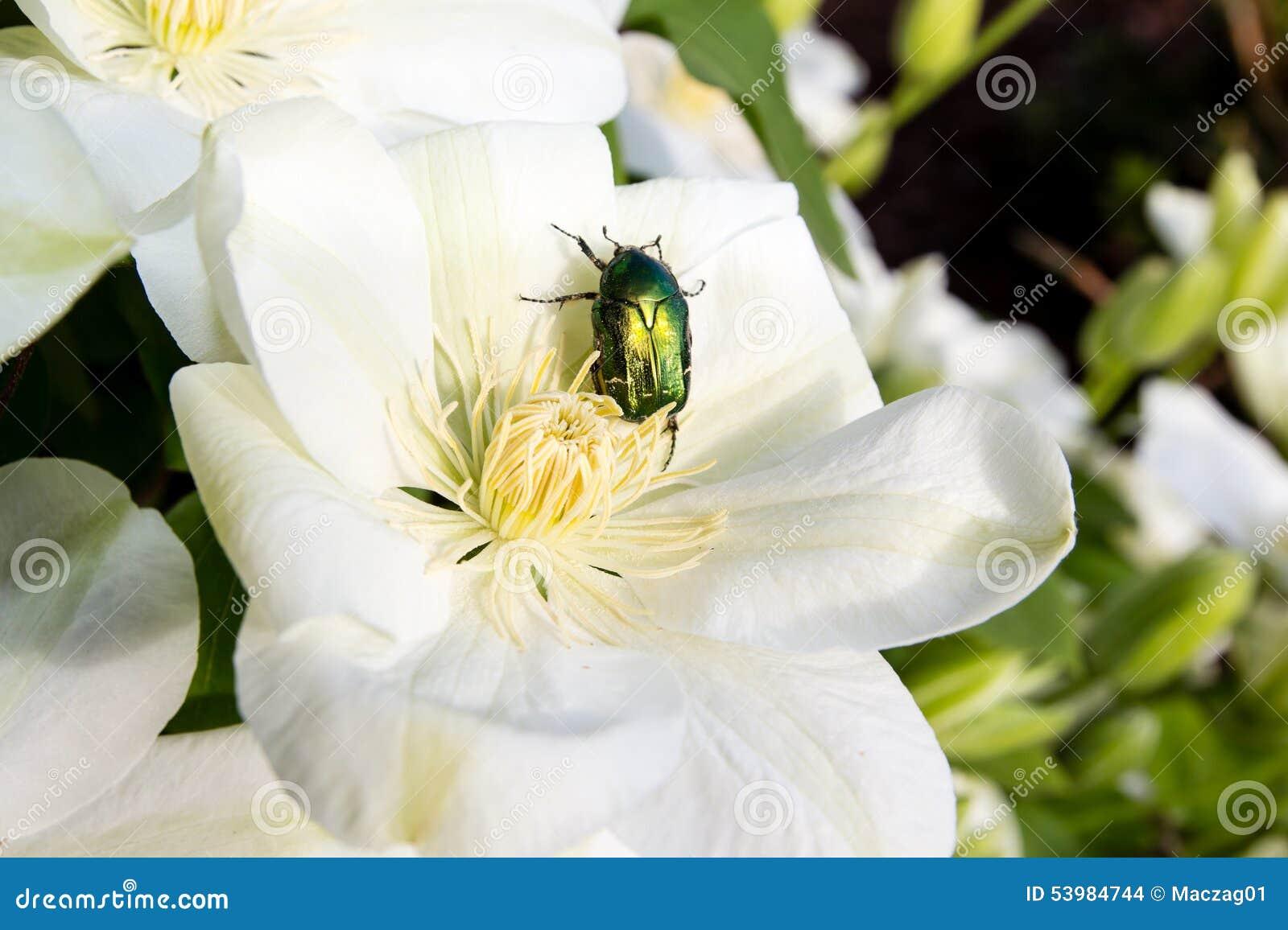 scarabée de rose sur la fleur de clématite photo stock - image