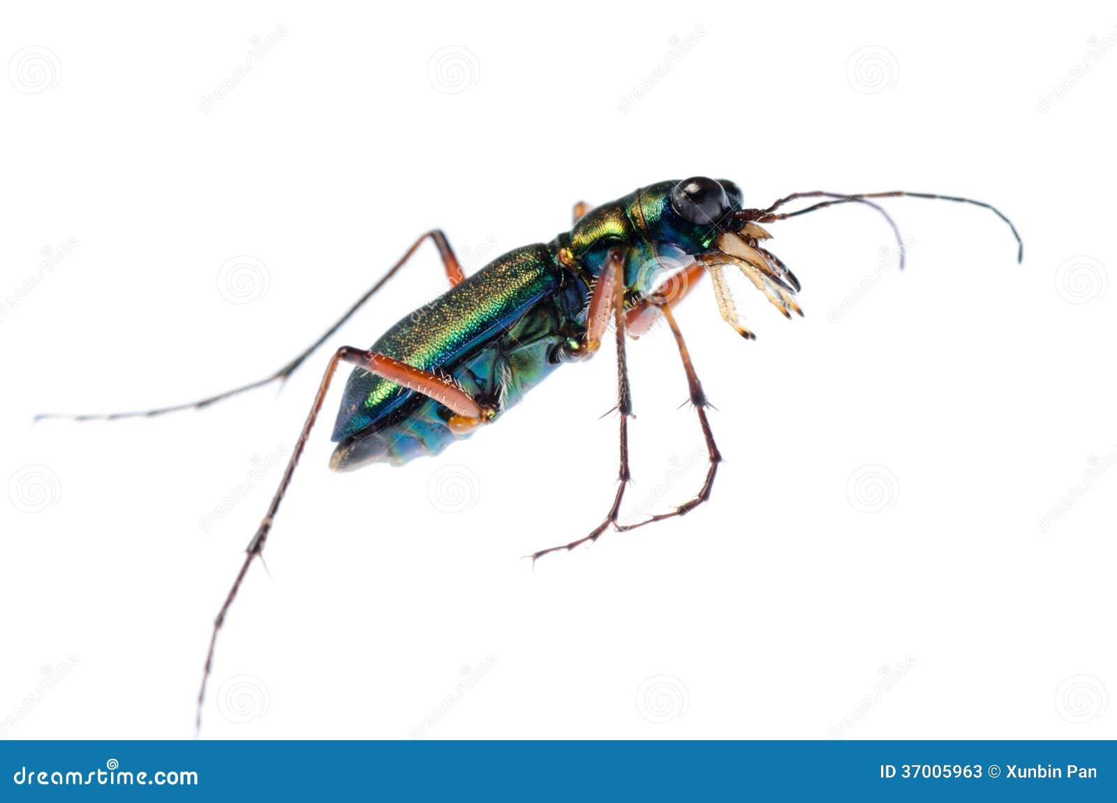 Scarabée de tigre vert, Hetodonta