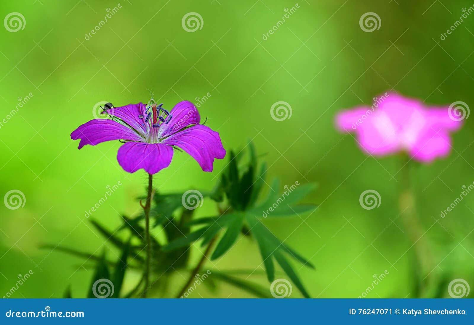 scarabée rose de fleur et d'insecte photo stock - image: 76247071