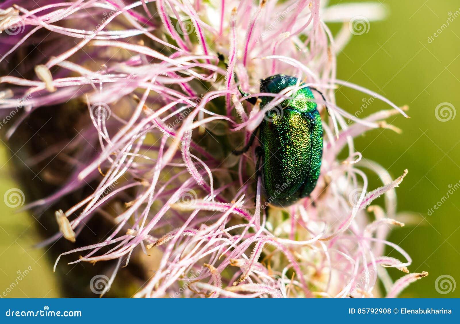 scarabée rose vert sur les fleurs roses scarabée d'aurata de