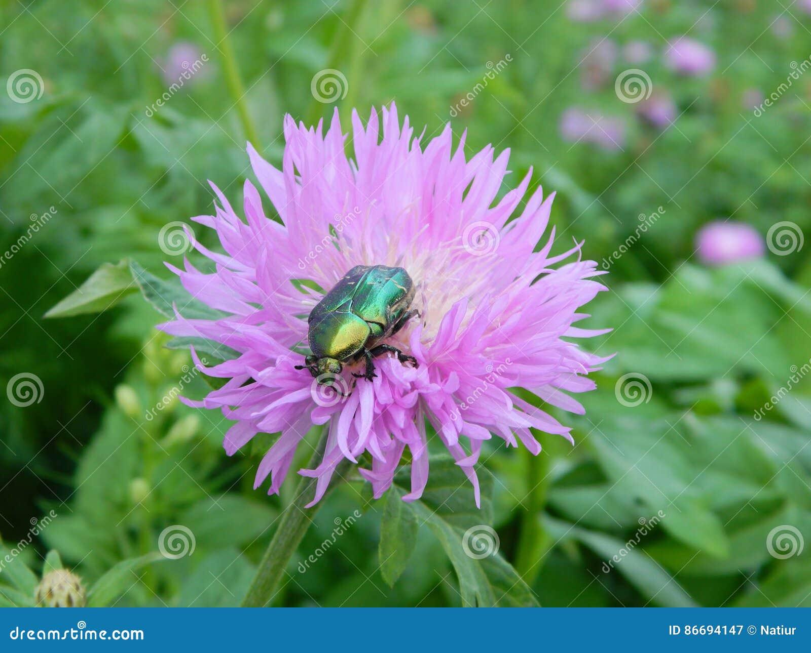 scarabée rose vert sur une fleur photo stock - image: 86694147