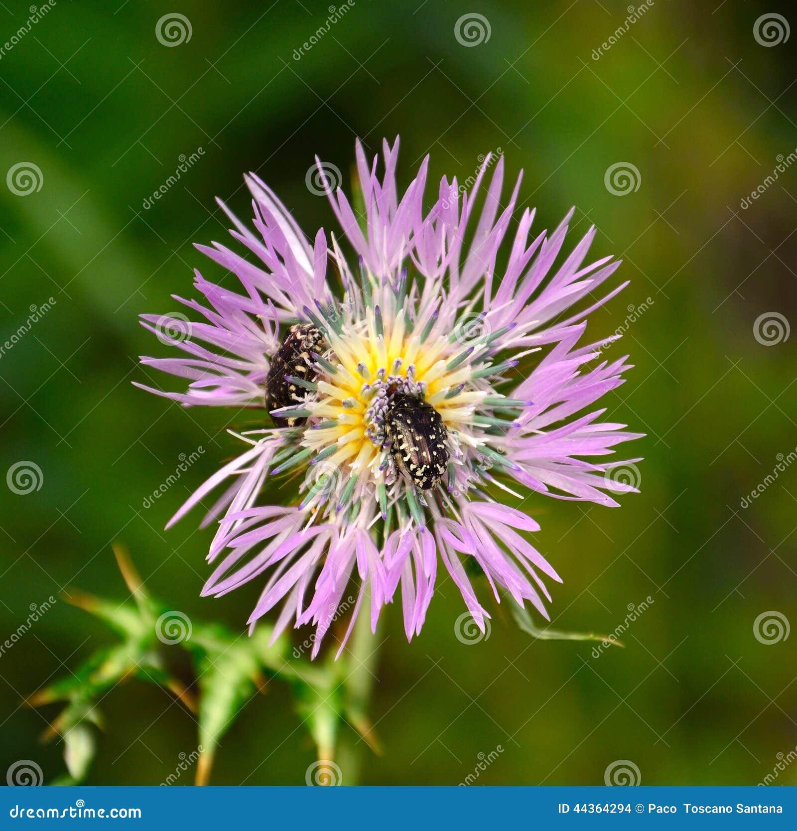 Scarabei che mangiano polline dentro un fiore selvaggio variopinto del cardo selvatico