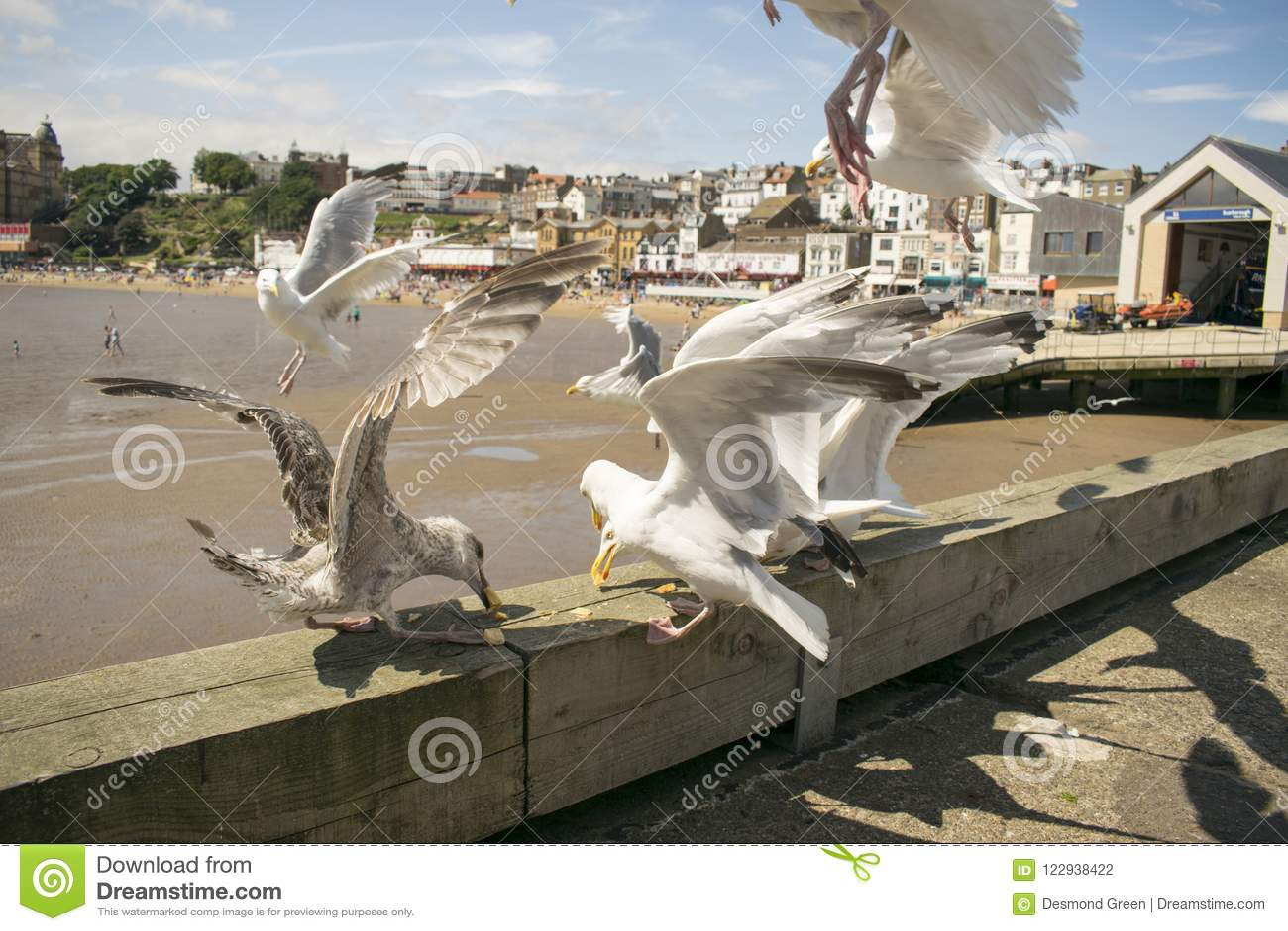 Scarborough Seagulls som matar, North Yorkshire, England, Förenade kungariket