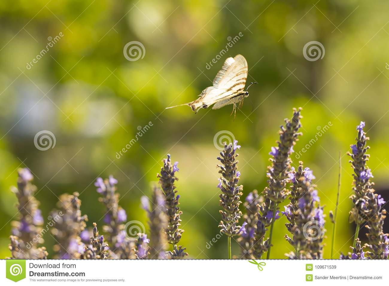 Scarce swallowtail butterfly Iphiclides podalirius butterfly o