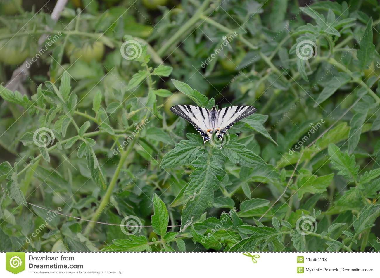 Scarce swallowtail Iphiclides podalirius rare european butterfly is sitting on the bushes of a blooming tomat