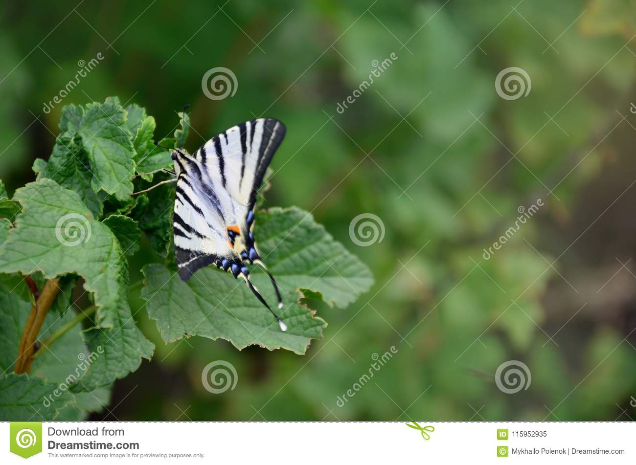 Scarce swallowtail Iphiclides podalirius rare european butterfly is sitting on the bushes of blossoming raspberrie