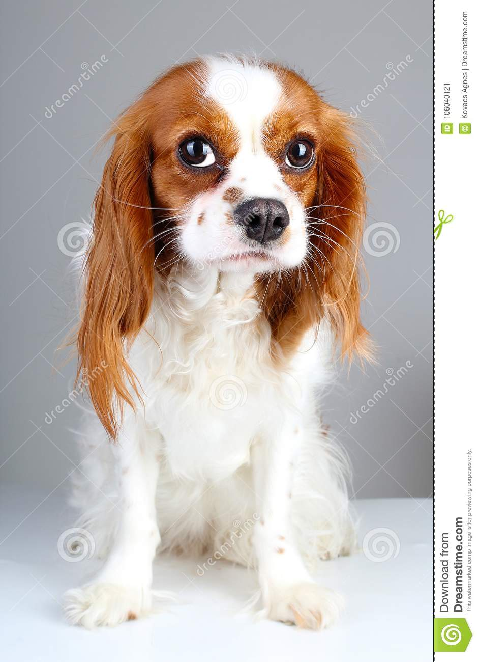 Scared dog. Cute abandoned scared guity face cavalier king charles spaniel dog pet animal photo. Scared dog puppy on