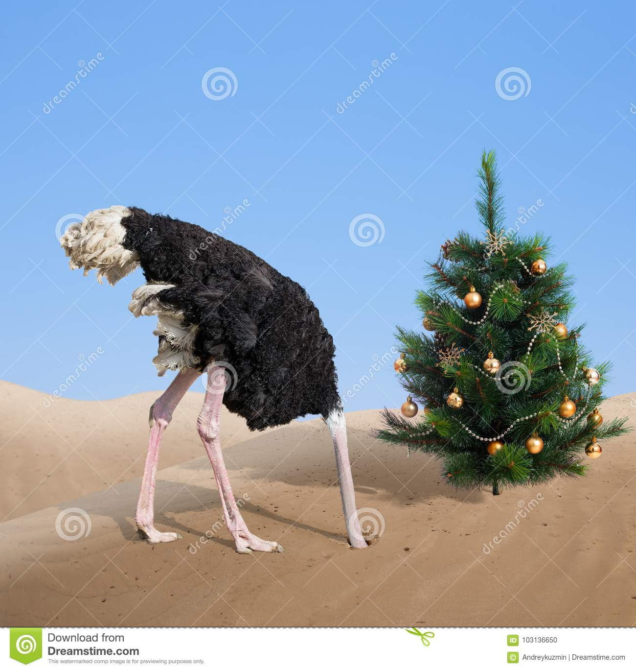 Christmas Tree In The Desert.Scared Ostrich Burying Head In Sand Under Xmas Tree Stock