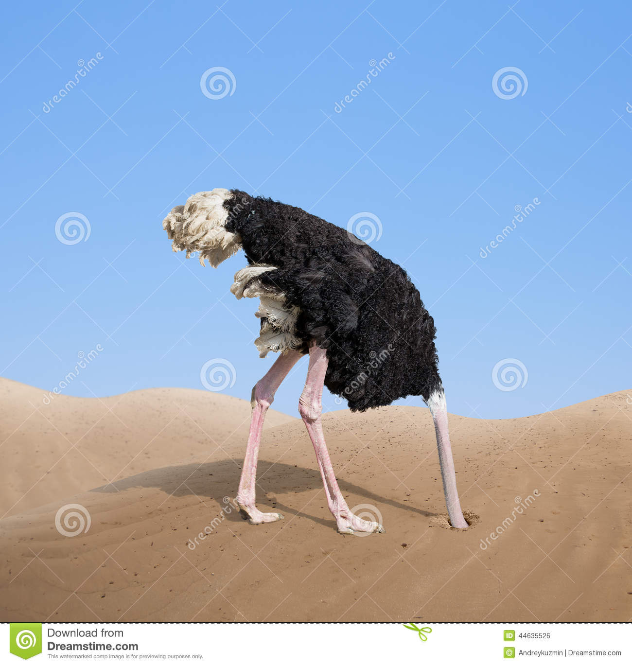 Scared Ostrich Burying Its Head In Sand Stock Photo - Image: 44635526