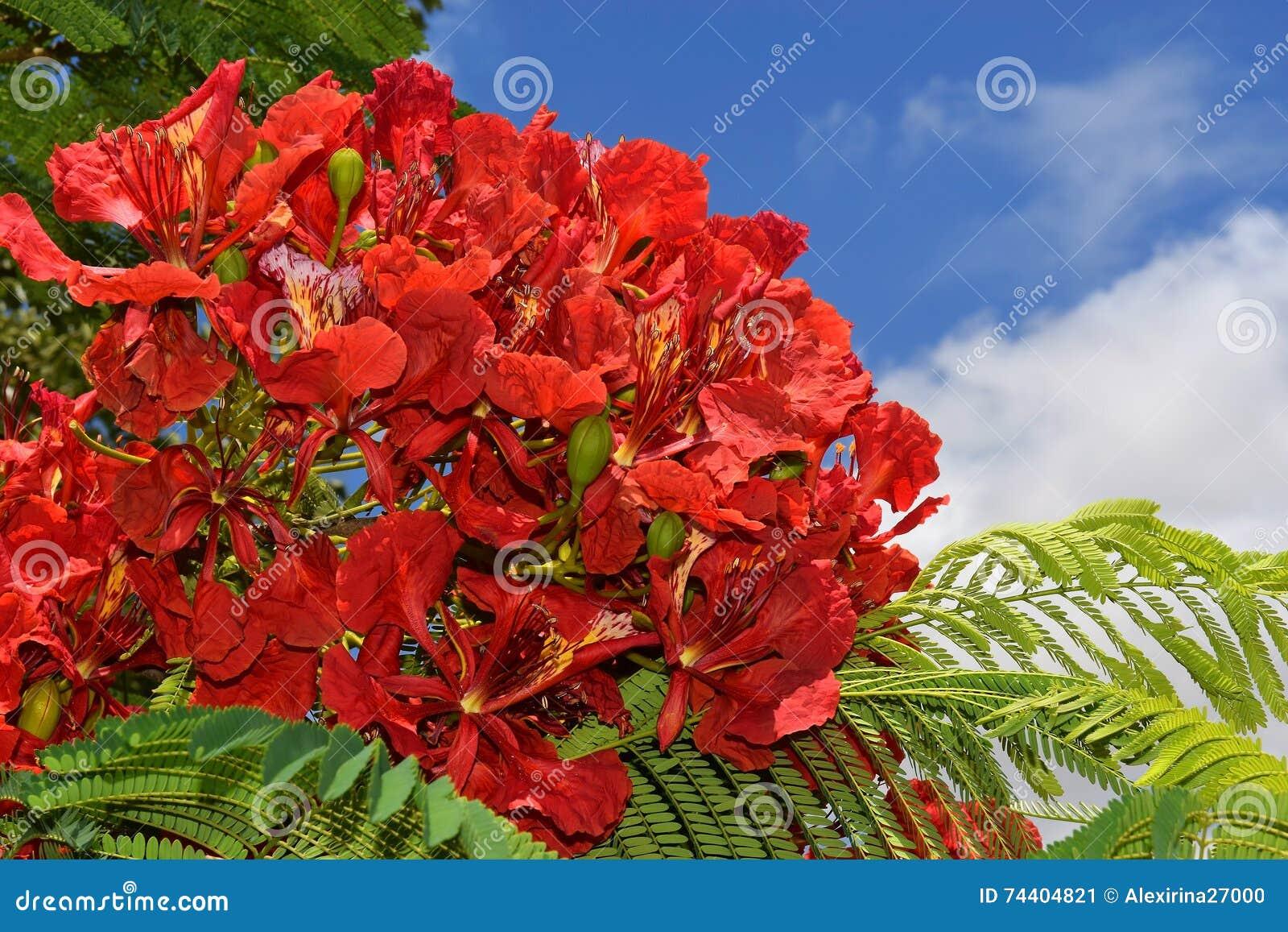Scarlet Flowers Of Mediterranean Acacia Stock Image - Image of ...