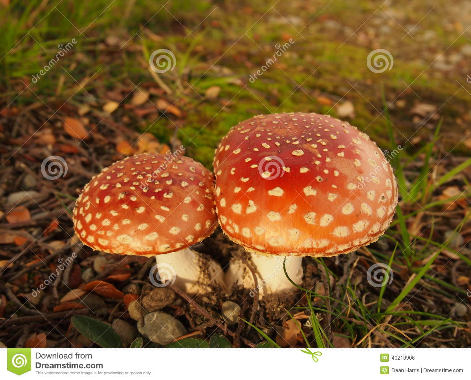 Scarlet Flycap Magic Mushrooms