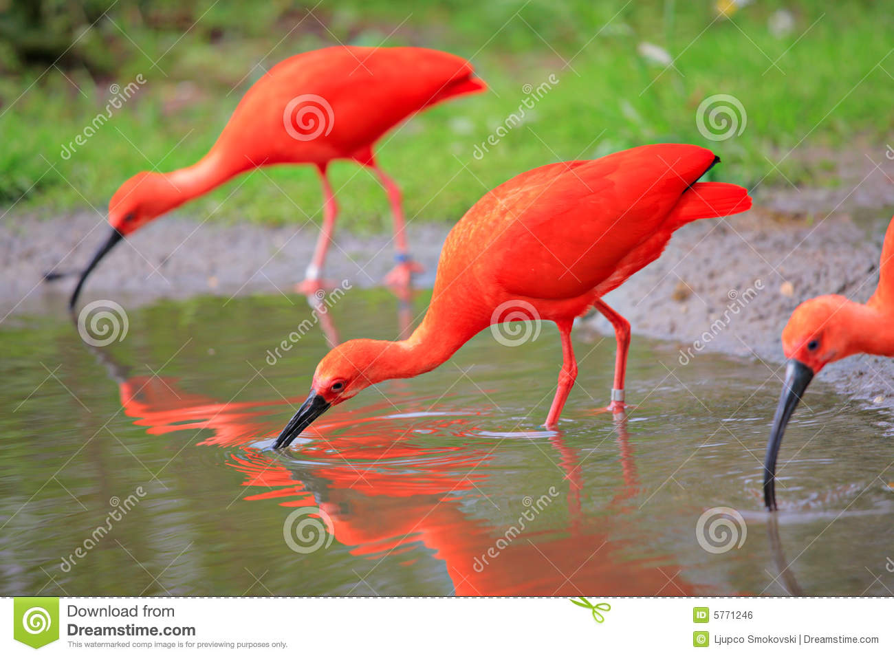 scarlet ibis vs The scarlet ibis james  running, jumping, or climbing the vines in old woman  swamp, and i wanted more than  6 invalid: ill, disabled, or weak and sickly.