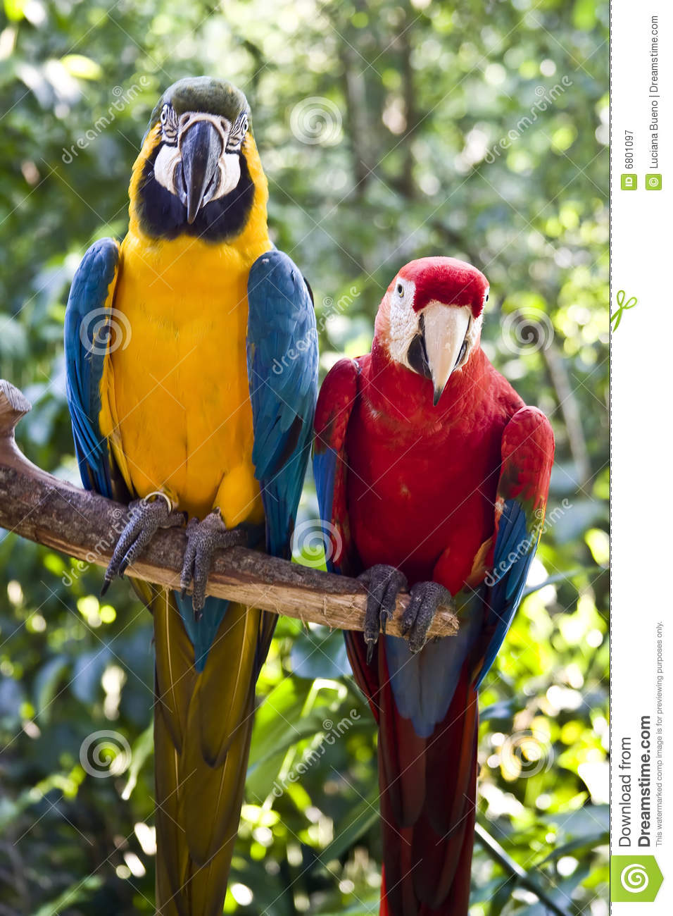 scarlet macaw and blue and yellow macaw royalty free stock photography   image 6801097
