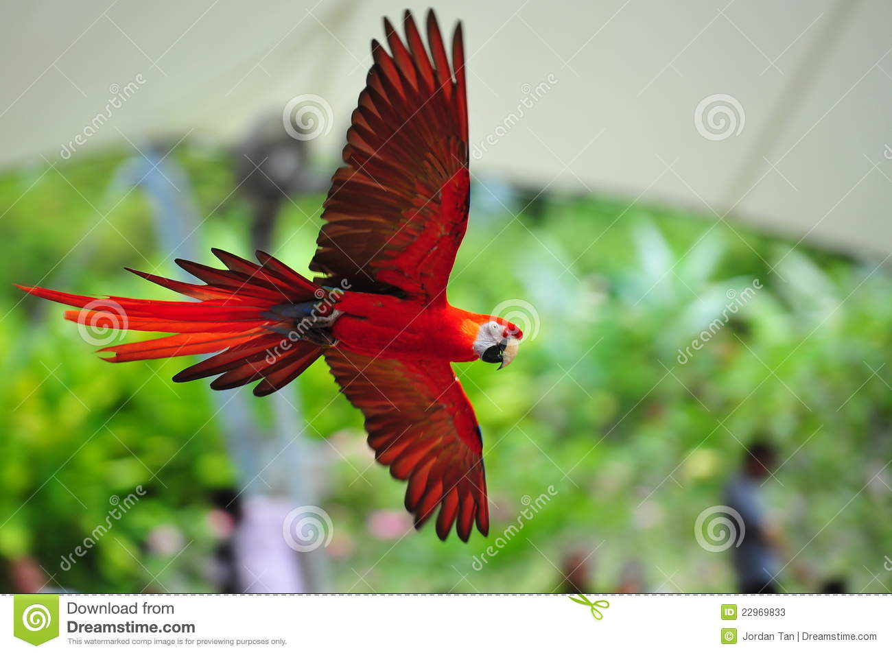 Red Macaw Parrot Flying Scarlet macaw in flight