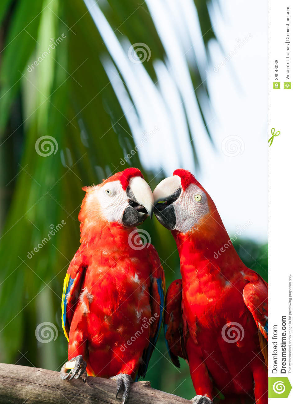 Scarlet Macaw Royalty Free Stock Photos - Image: 36946068