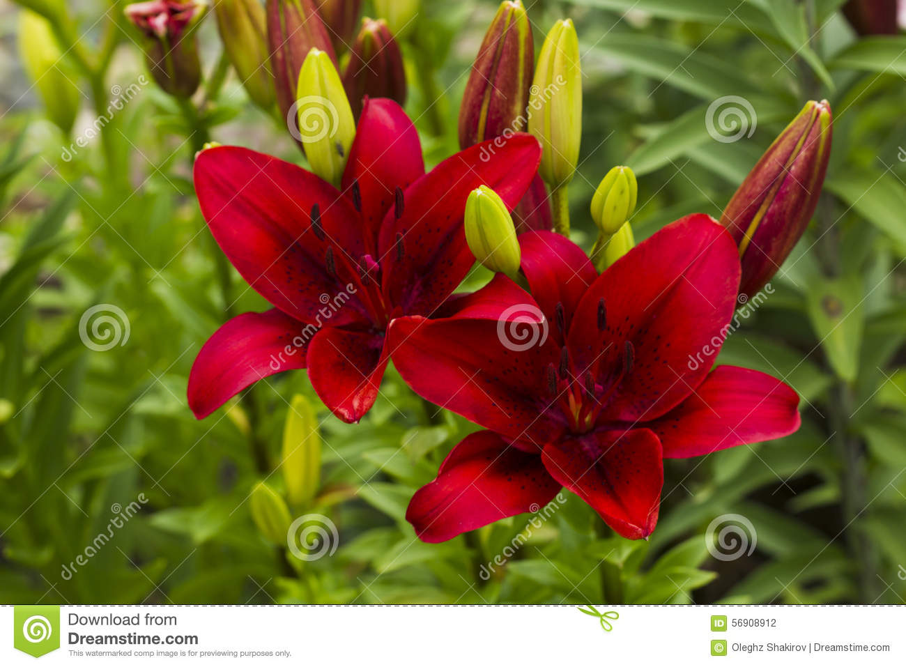 Scarlet purple lily flowers stock photo image of summer fauna download comp izmirmasajfo