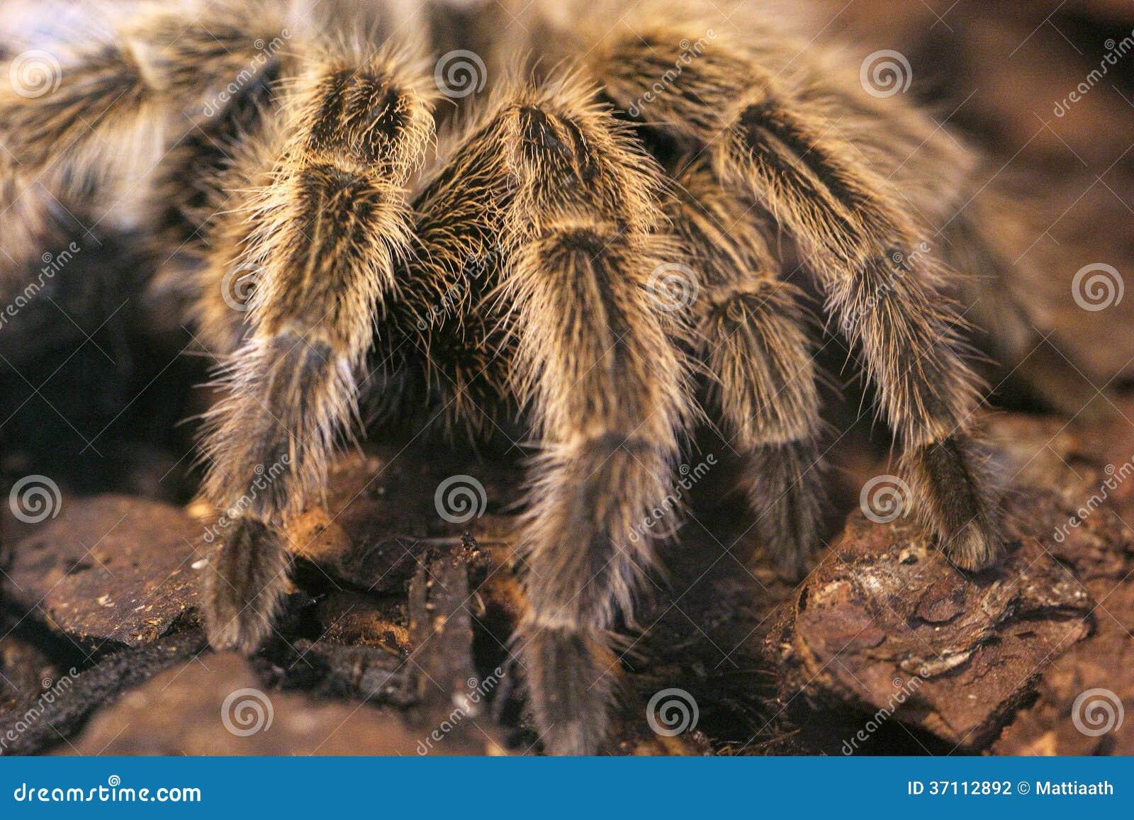 Scary Giant Tarantula Stock Photo Image Of Fear Spider