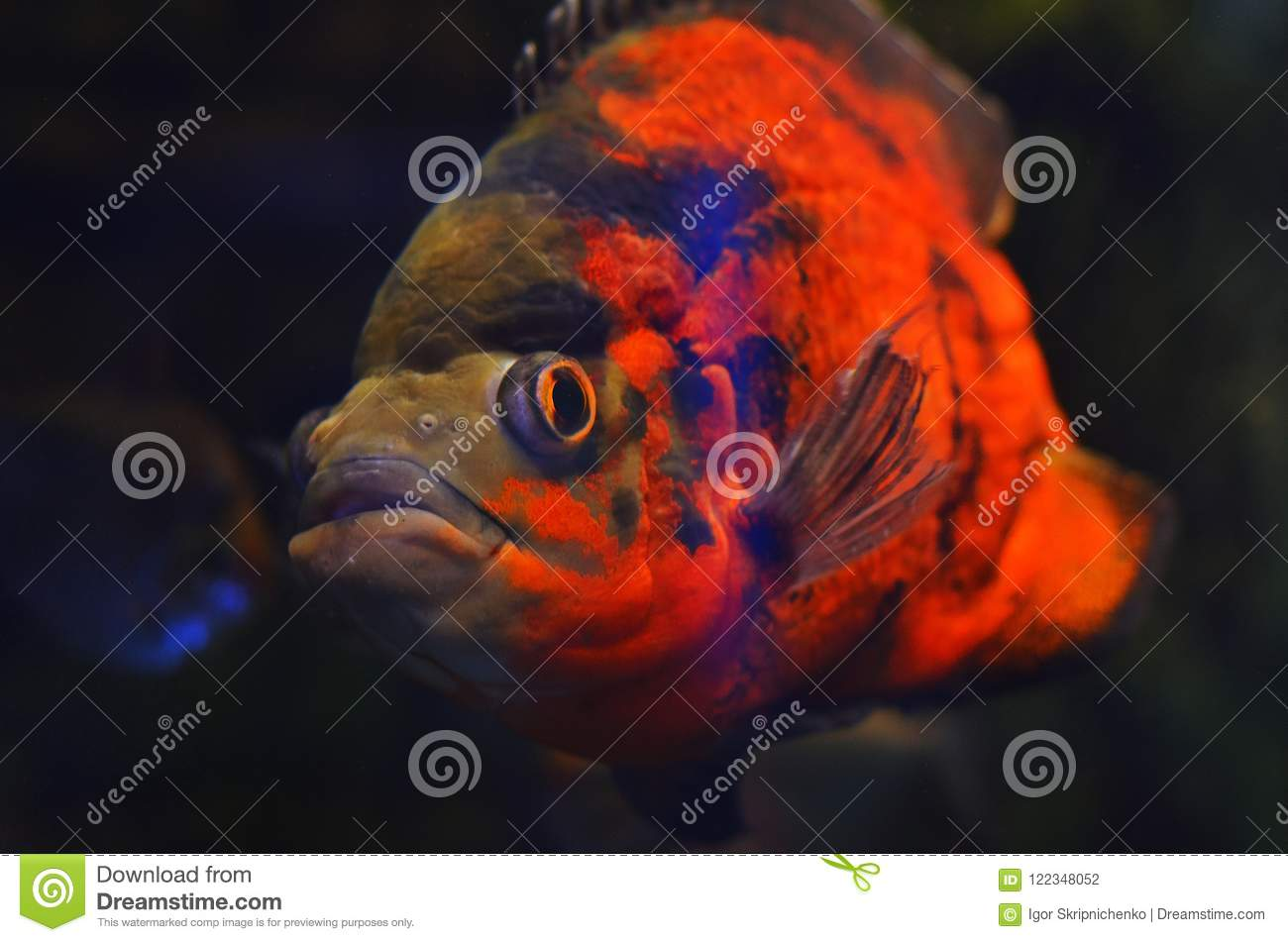 Orange Fish Big Eyes Stock Images - Download 72 Photos