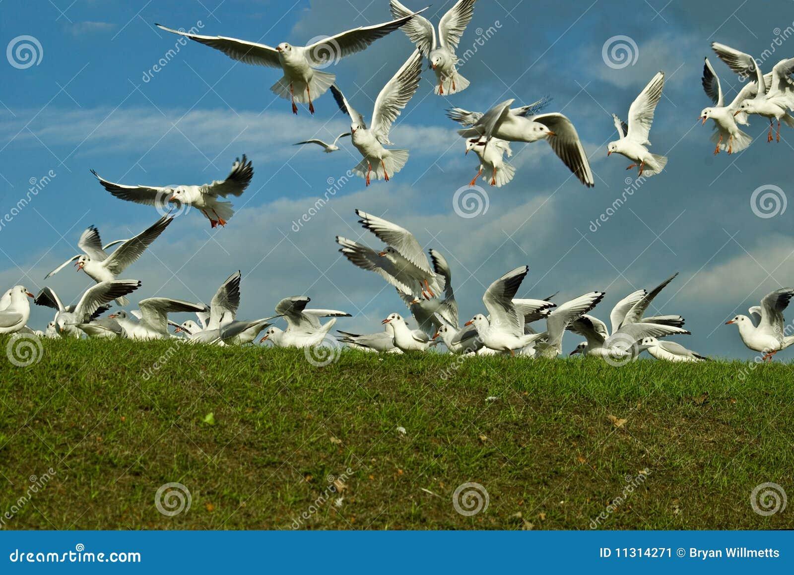 Scavaging Vögel