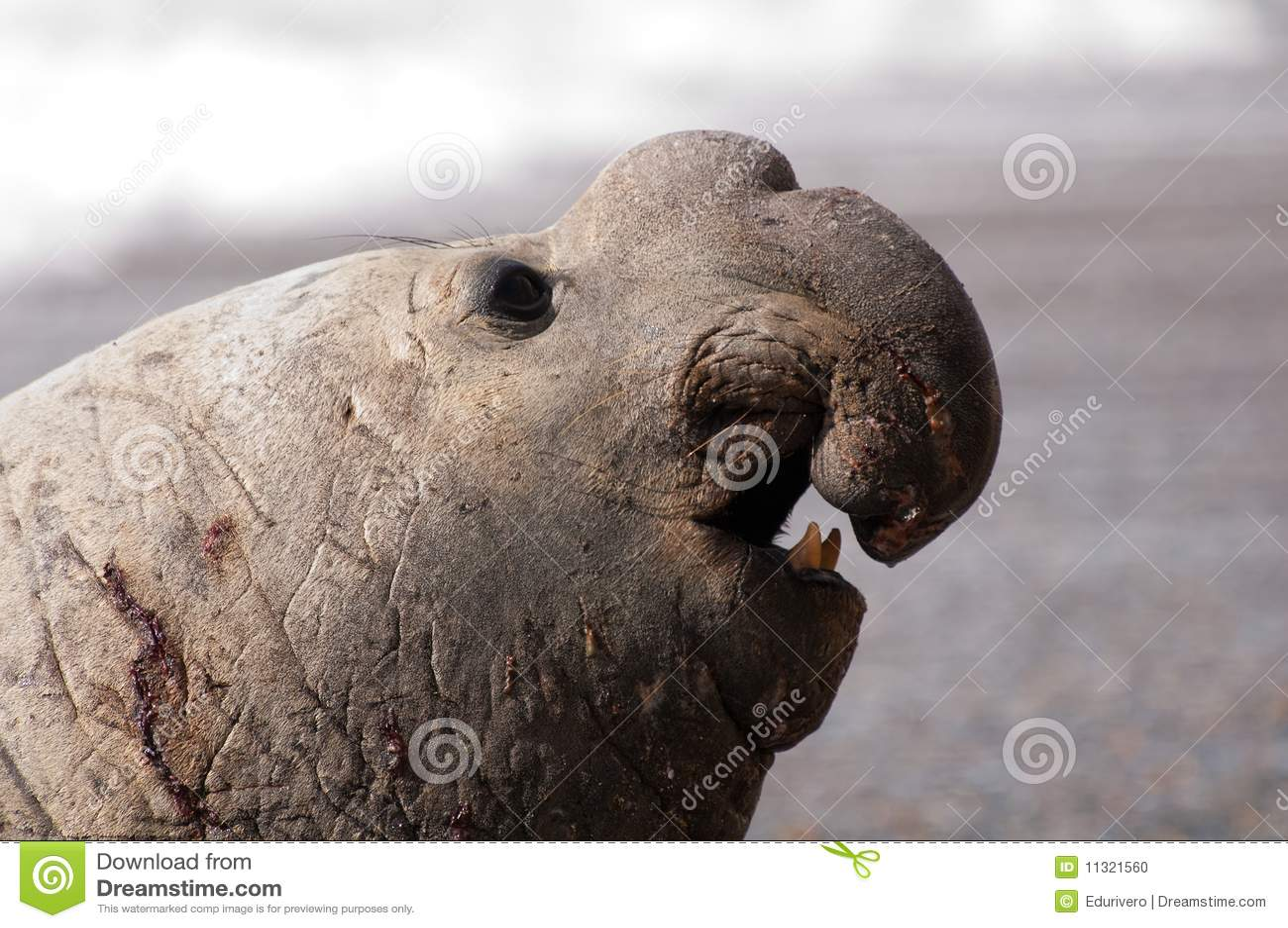Sceau d éléphant mâle