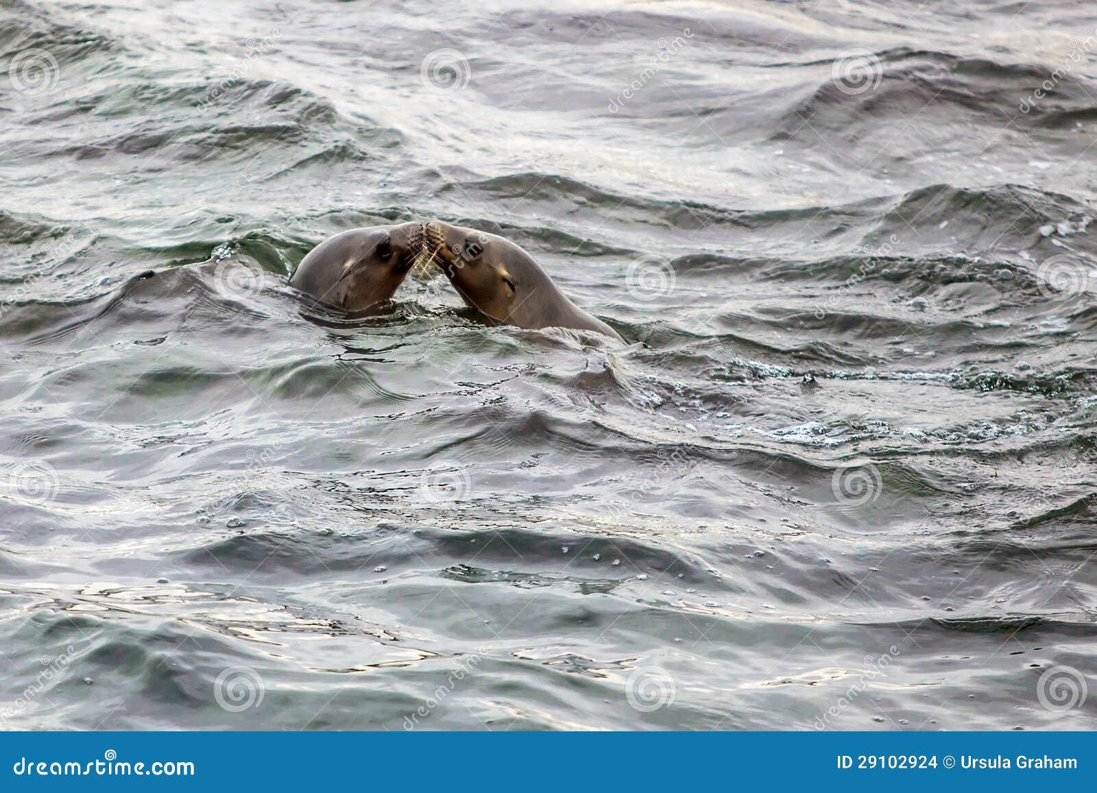 Sceaux embrassant dans l océan