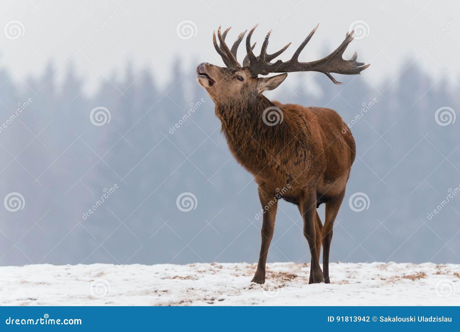 Scelga i cervi adulti di urlo con i grandi bei corni sul campo nevoso sul fondo della foresta