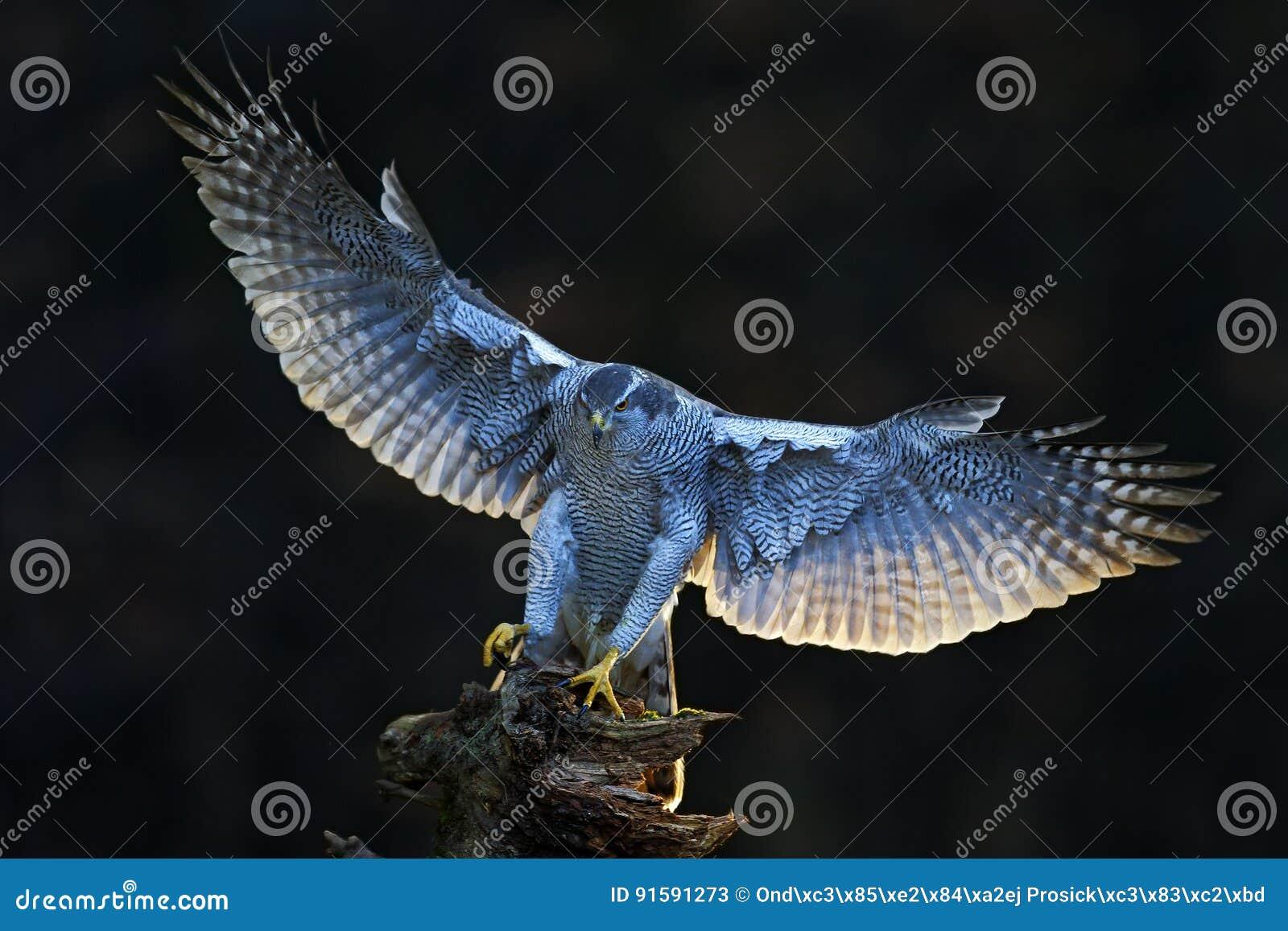 Scena della fauna selvatica di Aciton dalla foresta, con l uccello Astore, rapace volante con le ali aperte con la luce della par