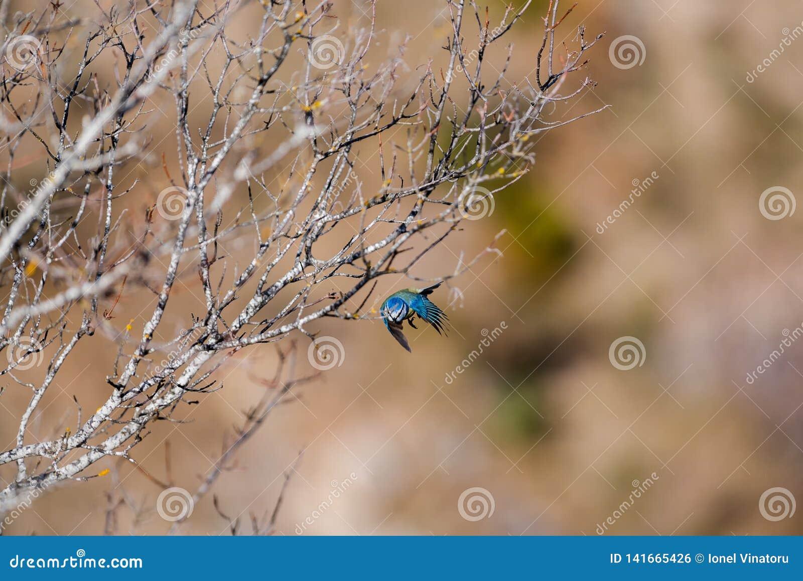 Scena z błękitnym tit na wiosna ranku