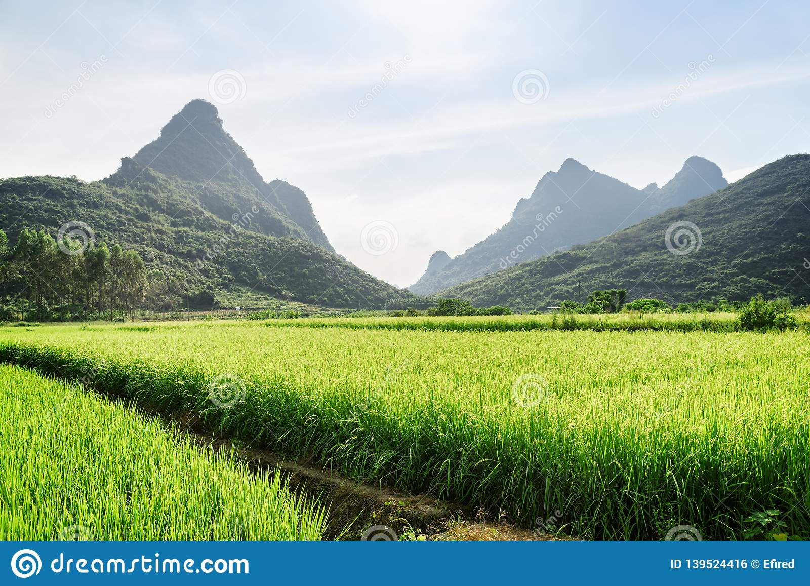 Scenic bright green rice fields and beautiful karst mountains