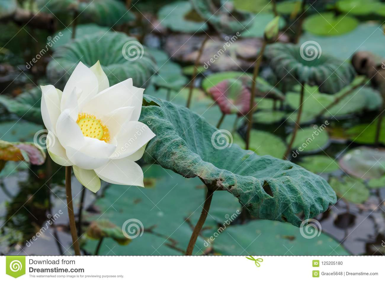 Scenic View Of The White Lotus Flower In The Pond Stock Photo