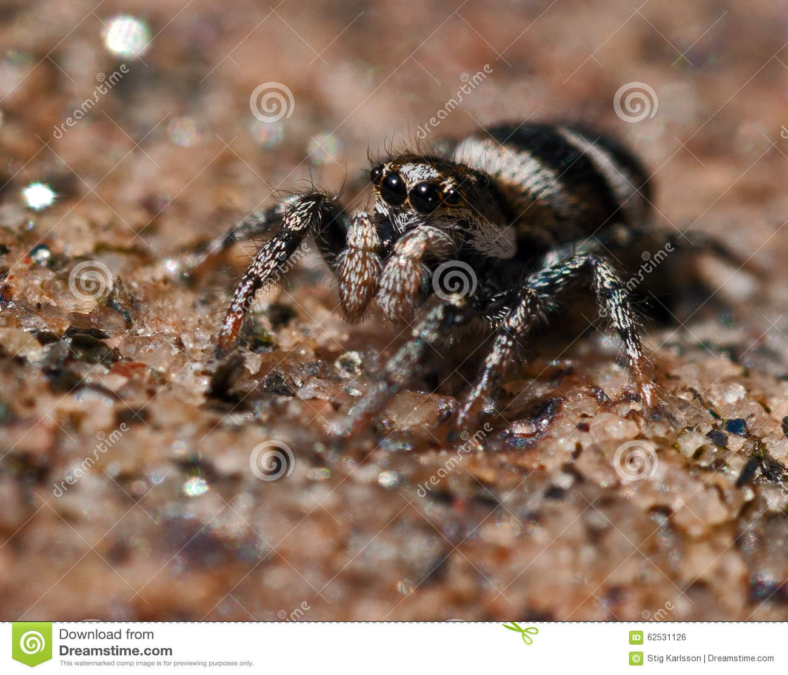 Scenicus de Salticus de la araña de la cebra