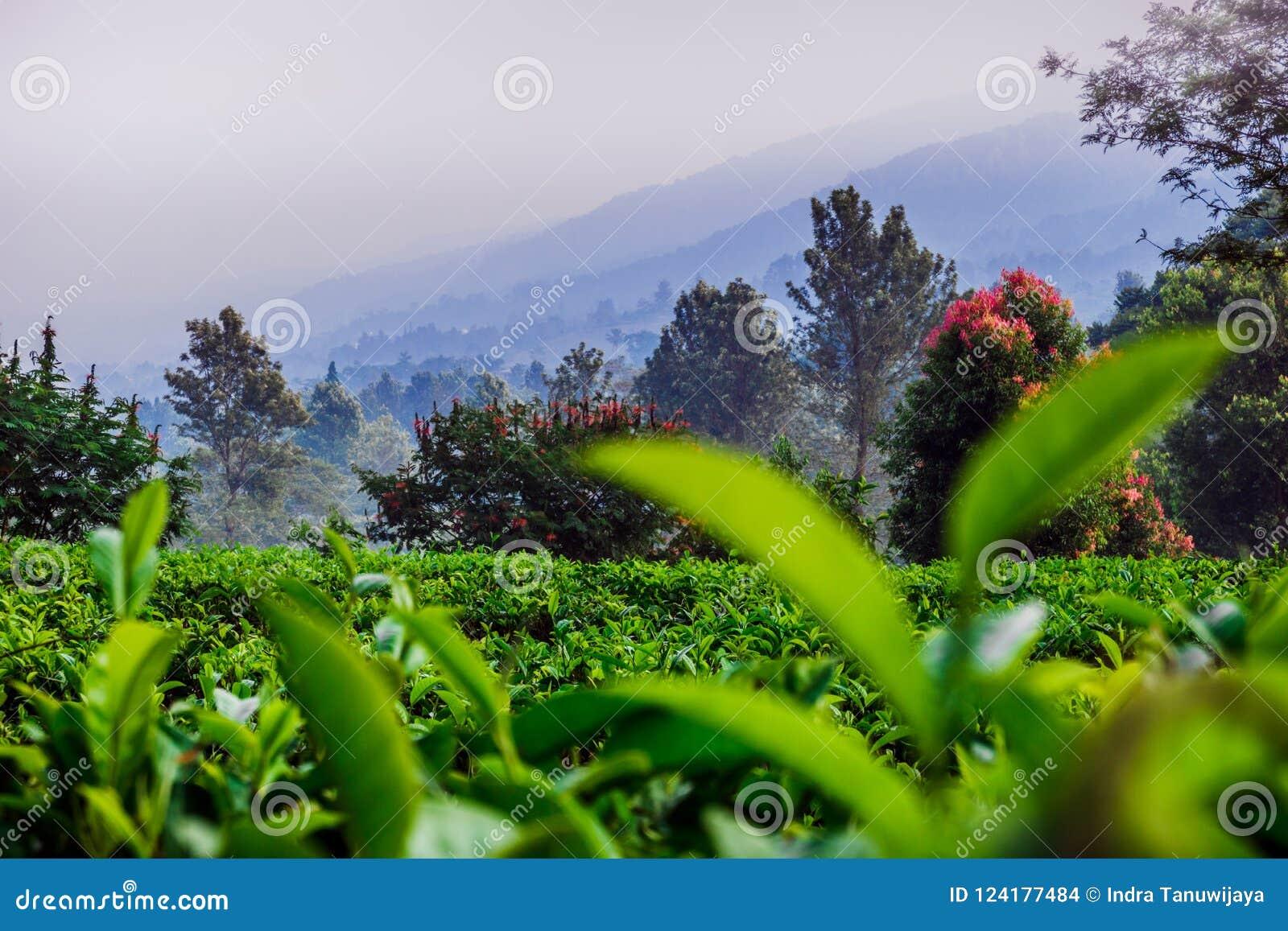 Sceniczna natura herbaciana plantacja