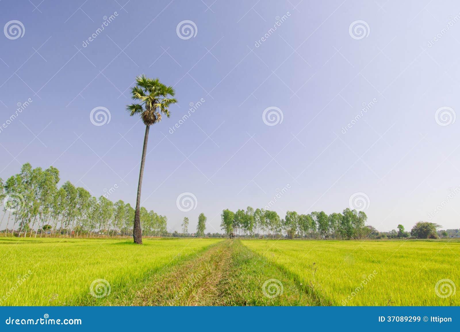 Download Sceniczny irlandczyka pole obraz stock. Obraz złożonej z ryż - 37089299