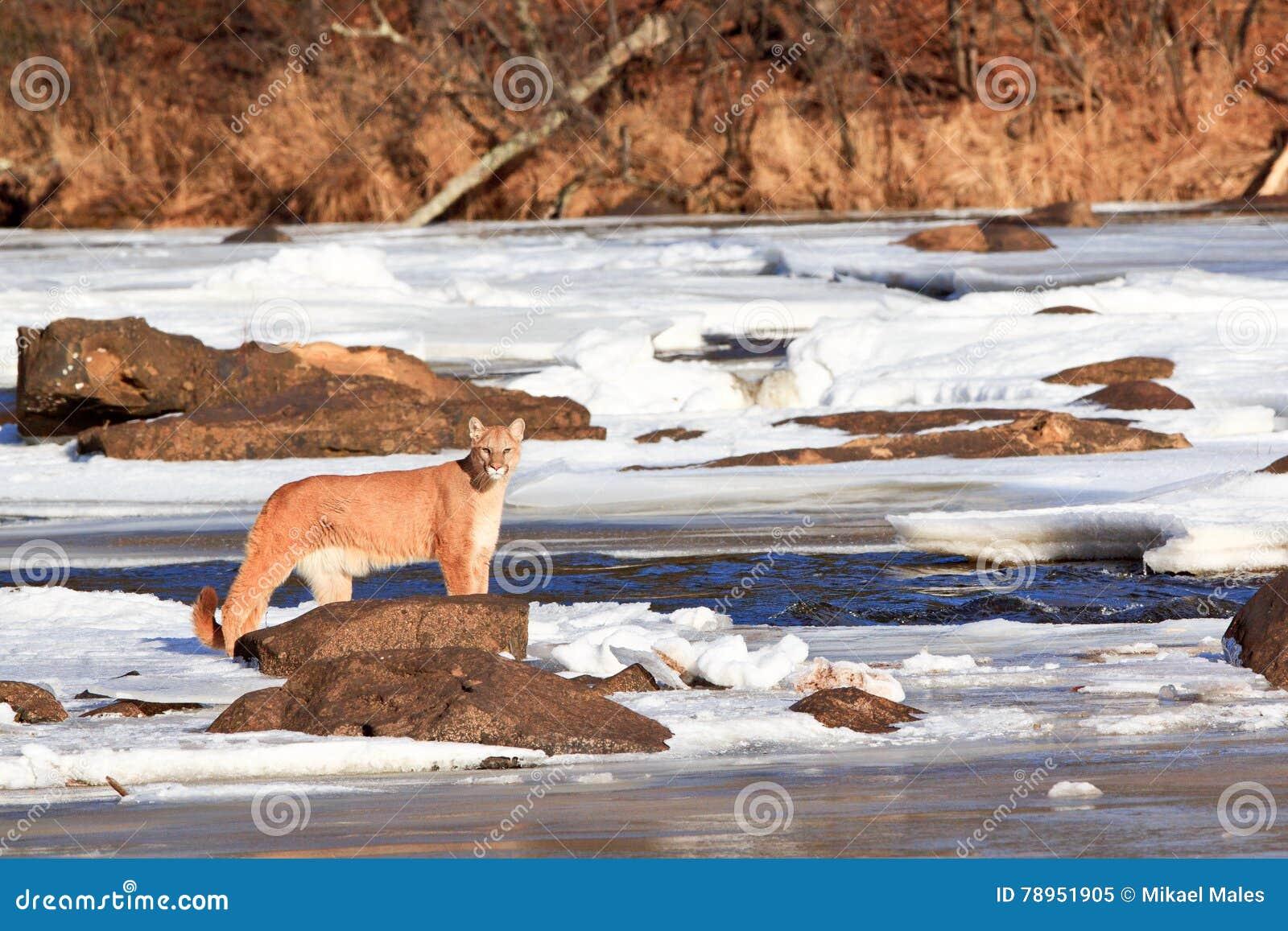 Sceniczny krajobrazowy obrazek halny lew strumieniem