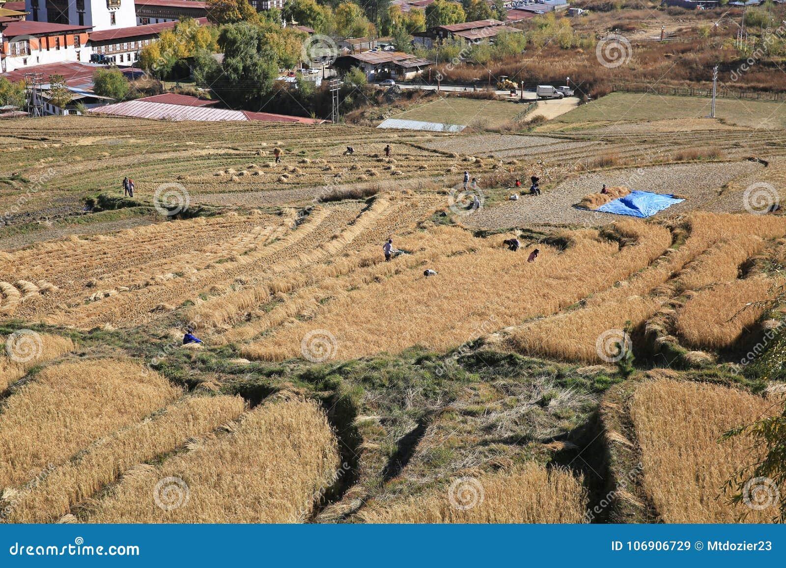 Sceniczny widok pracownicy Zbiera Ryżowych irlandczyków, Bhutan