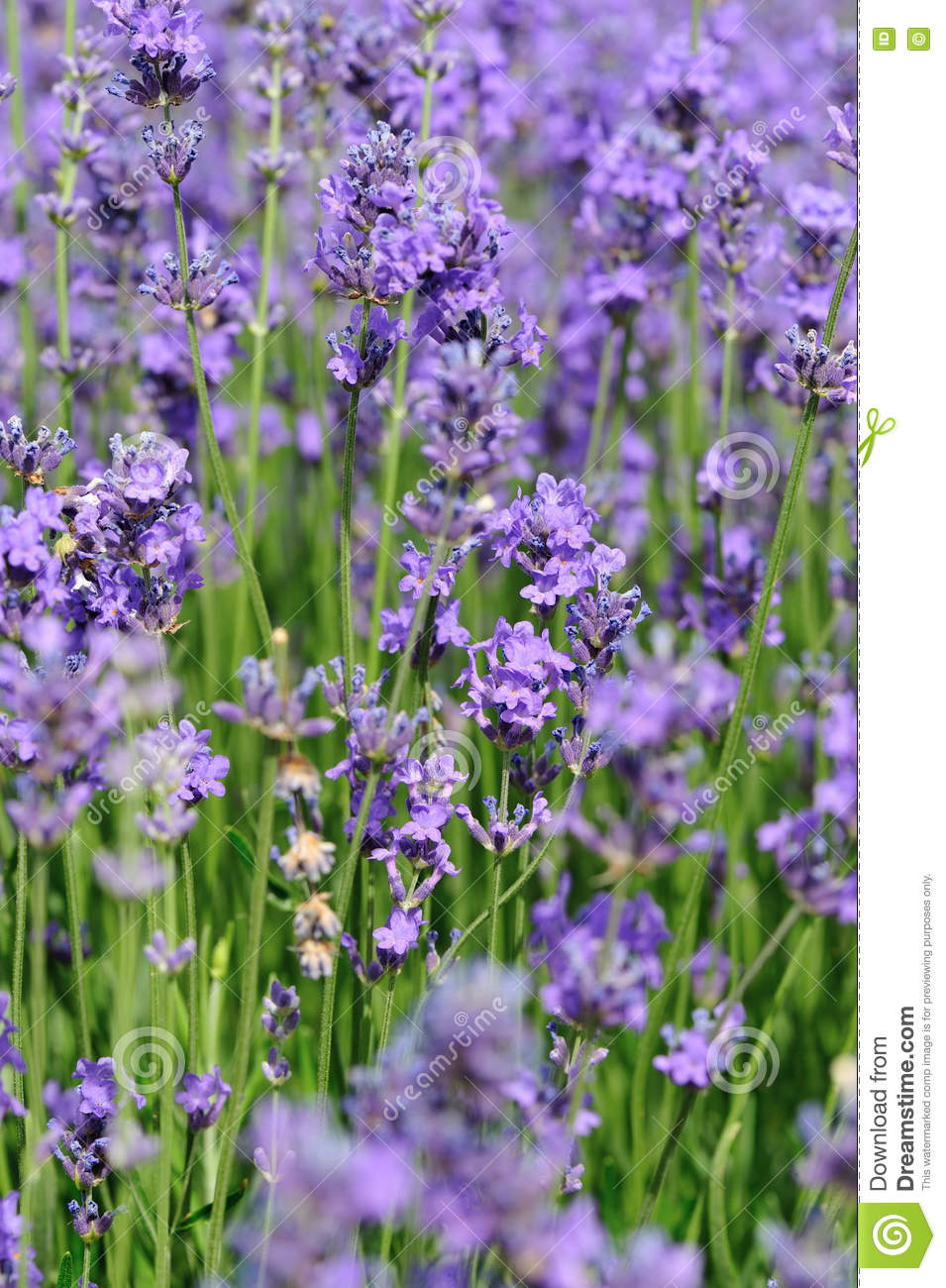 Scented lavender flowers field