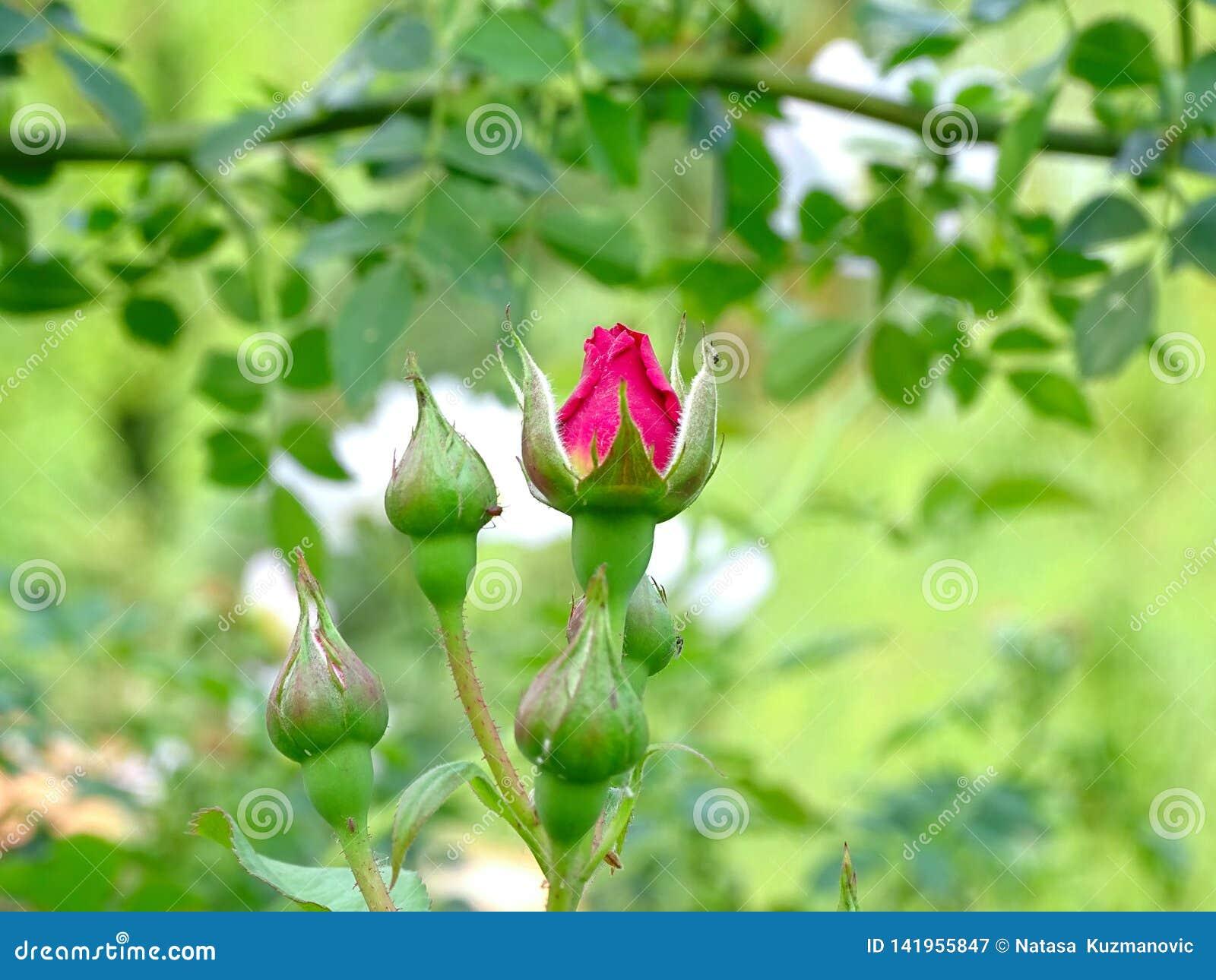 Schöner roter Mohnblumenblumenabschluß oben im grünen Gras