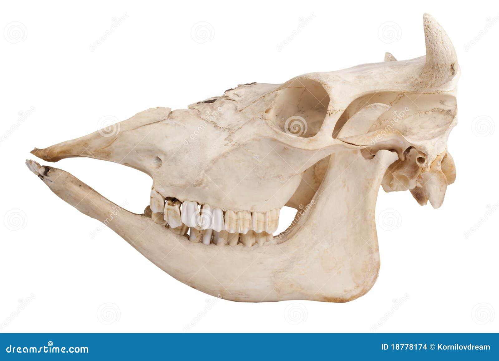 Groß Kuh Beinknochen Anatomie Fotos - Menschliche Anatomie Bilder ...