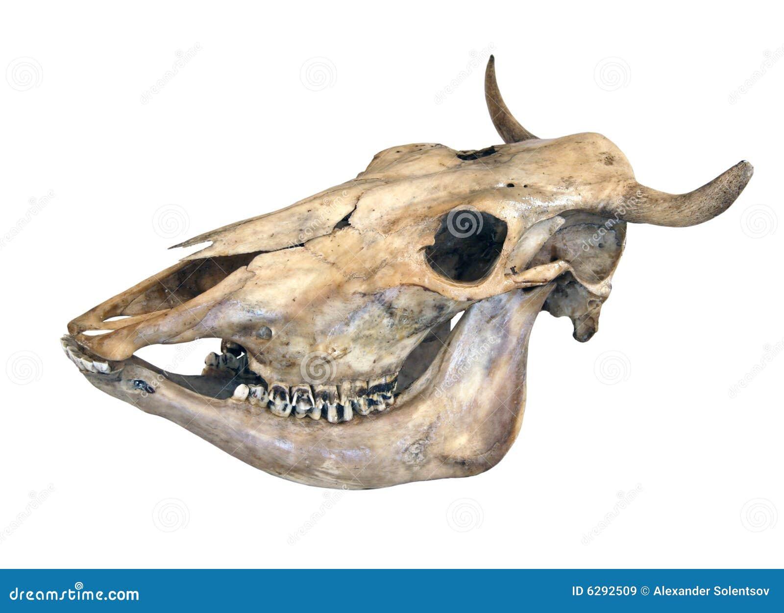 Schädel einer Kuh stockbild. Bild von kopf, schädel, getrennt - 6292509
