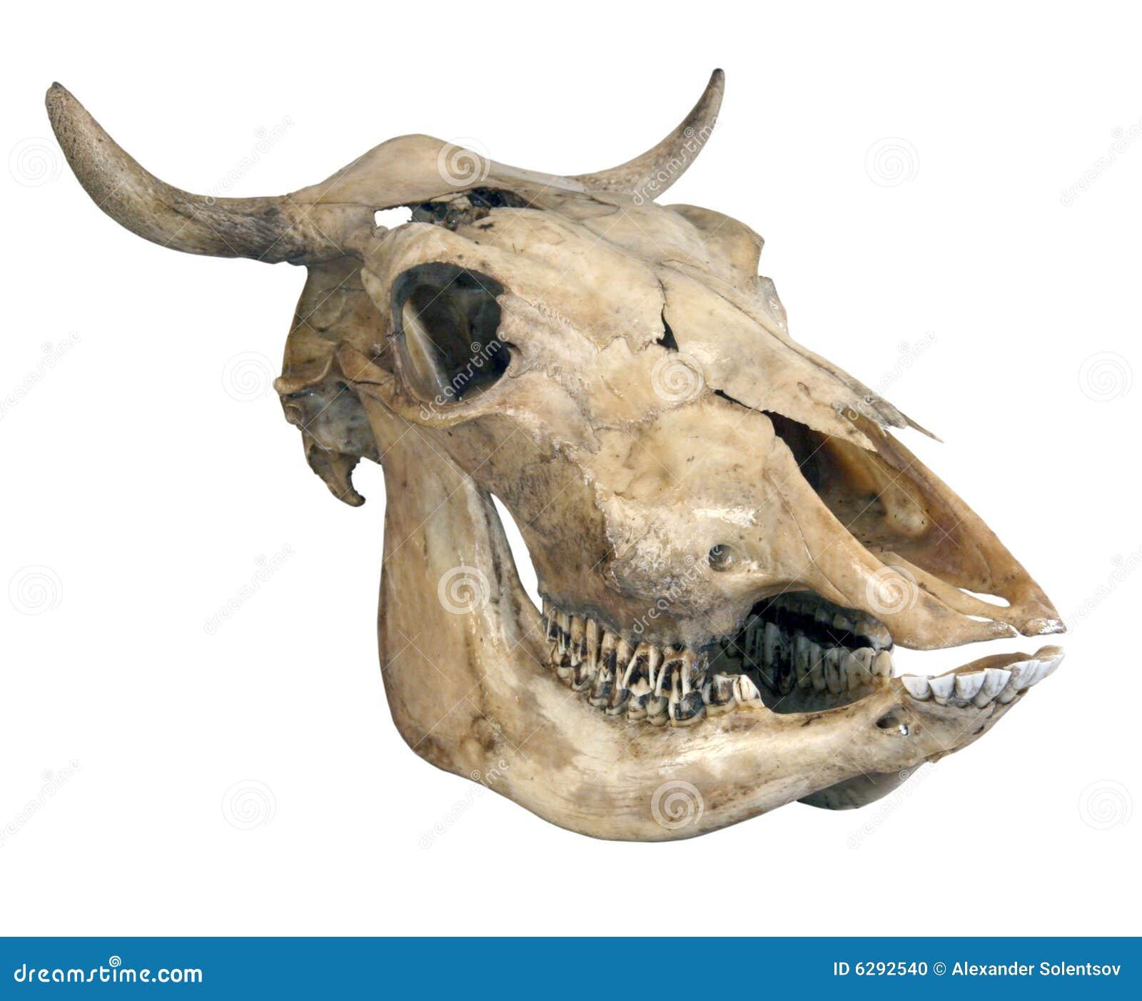 Schädel einer Kuh stockfoto. Bild von getrennt, hupen - 6292540