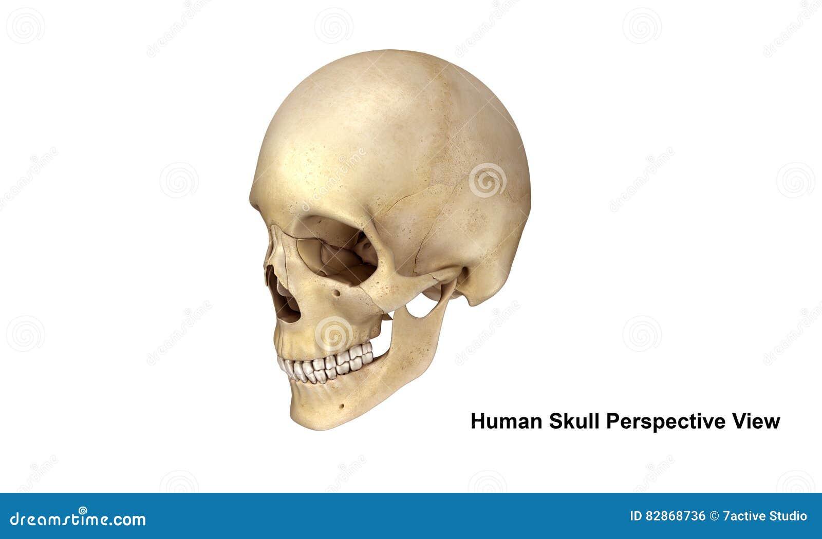 Nett Menschlicher Schädel Anatomie Und Physiologie Bilder - Anatomie ...