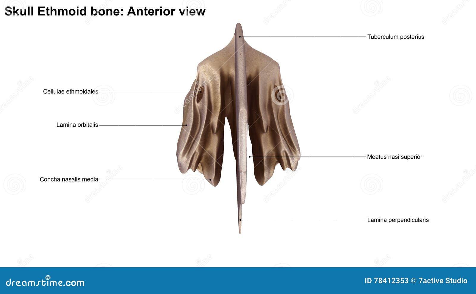 Schädel-Siebbein stock abbildung. Illustration von anatomisch - 78412353